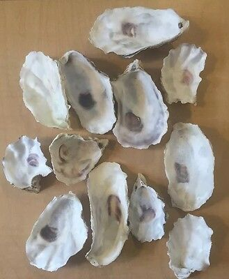 48 Medium Oyster Shells Cup Side 2.75-4 Inch No Smell Art Craft