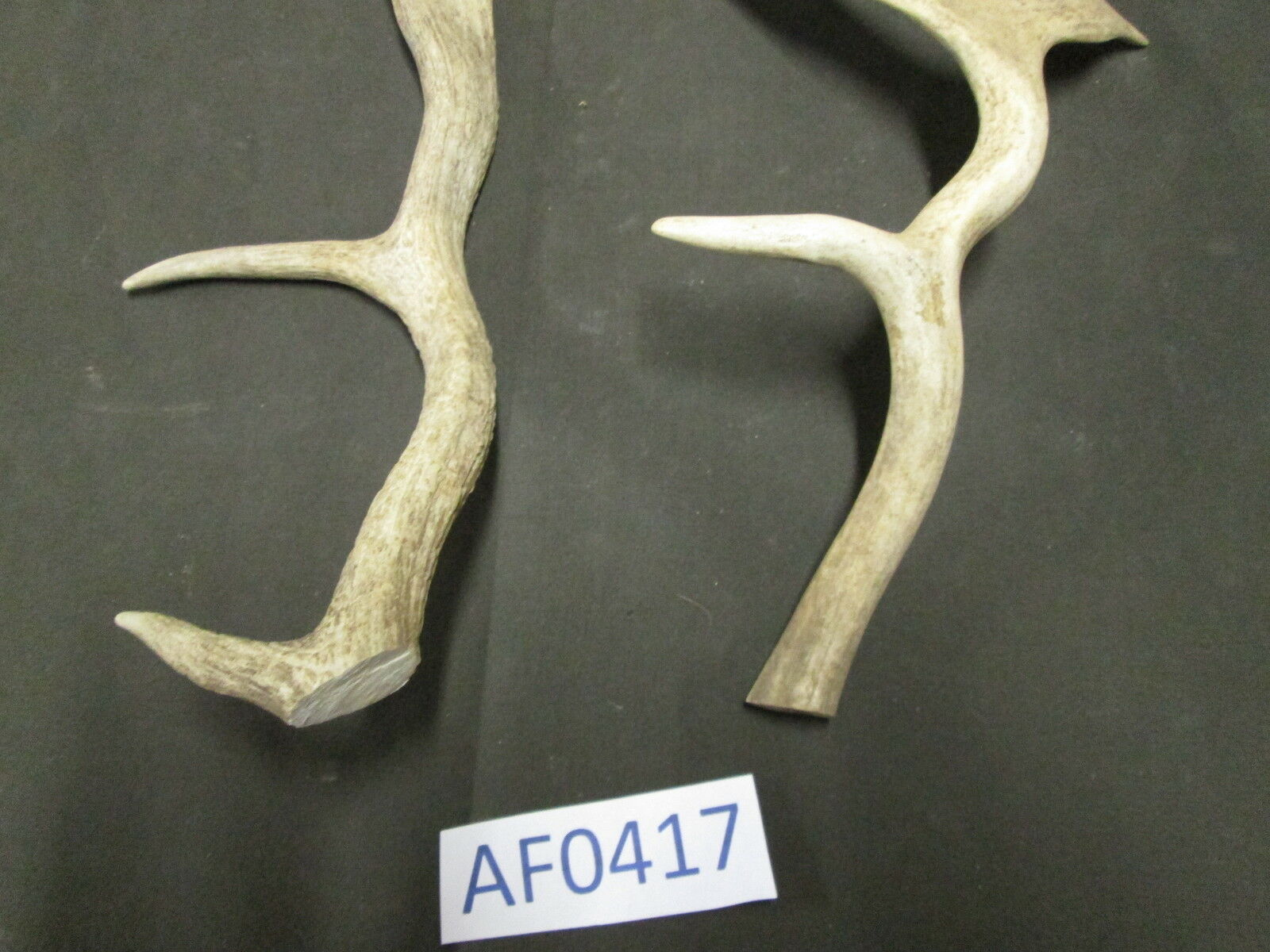 2 Fallow Crafts Deer Antlers bases cutoff for Crafts Fallow Home Cabin Office Wildlife AF0417 30256a