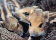 Lentikular - Wackelkarte: kleine Wildschweine - Frischlinge
