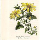 Stampa antica fiori MARGHERITA SENECIO botanica 1896 Old print flowers