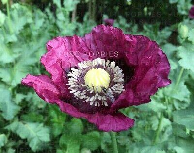 Poppy Somniferum Seeds 1//8 oz 7500+ seeds blue Afghan Organic NON GMO .