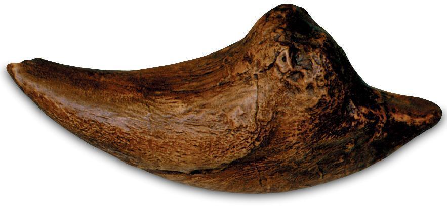 Fossil Tiranosaurio Rex Dinosaurio T Rex 7  Garra Replica