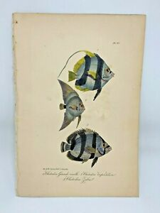 Fish-Plate-97-Lacepede-1832-Hand-Colored-Natural-History