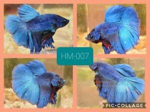 Halfmoon blue - Live Male Betta Fish - HM007 - high quality