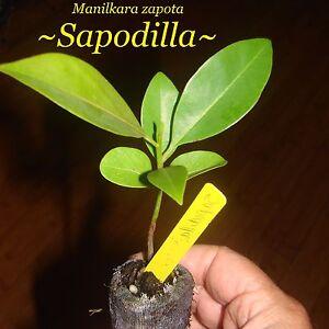image is loading sapodilla manilkara zapota cv alano chico sapote zapote