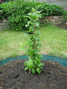 200 semi di bacche di goji bio goji frutto bush lycium barbabarum albero ebay. Black Bedroom Furniture Sets. Home Design Ideas