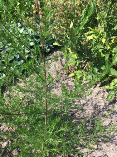Besenbeifuß Artemisia scoparia Yin Chen TCM Heilpflanze Räucherkraut
