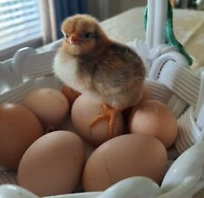 24 Npip Certified Laced Wyandotte Hatching Chicken Eggs