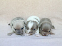 White Puppy For Sales Adopt Dogs Puppies Locally In Ontario Kijiji Classifieds