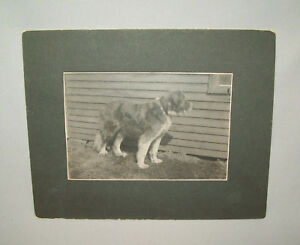 Antique-Vtg-1900s-Large-Portrait-of-Buster-the-Dog-Cabinet-Card-Photo-Photograph