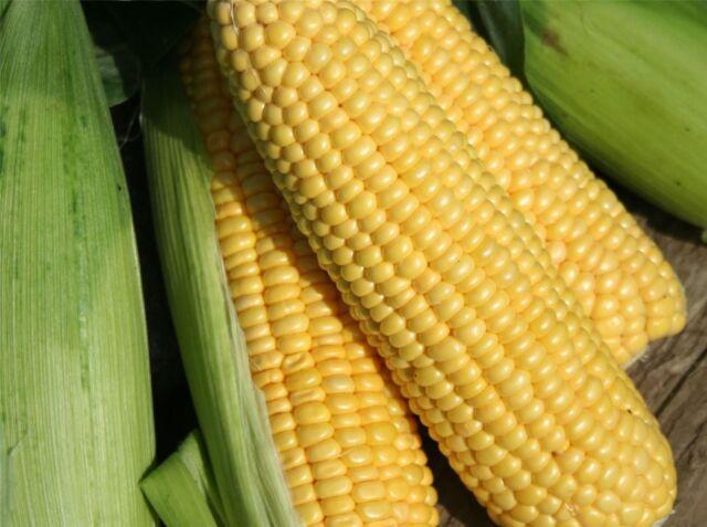 Vegetable - Sweet Corn - Lark F1 - 500 Seeds - Bulk
