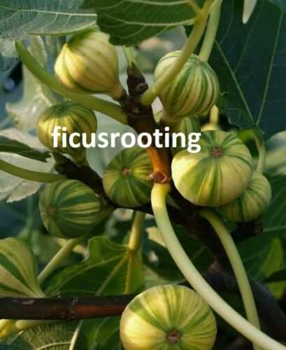 5x PANACHE TIGER FIG FRESH CUTTINGS FIG TREE FICUS CARICA ROOT INTO NEW TREE