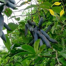 BLUE SAUSAGE FRUIT Decaisnea Fargesii - 5+ SEEDS