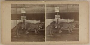 Cirque Circo Fleas Lions USA UK c1890 Foto Stereo Vintage Albumina n1
