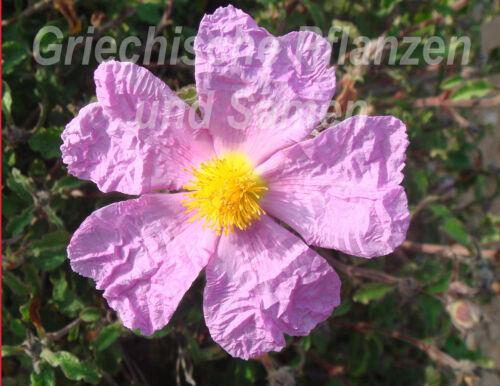 Zistrose pink Cistus Incanus 50 Seeds Heilpflanze Mediterranean KГјbelpflanze