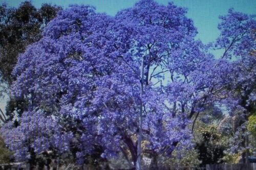 10 Samen Jacaranda cuspidifolia#436