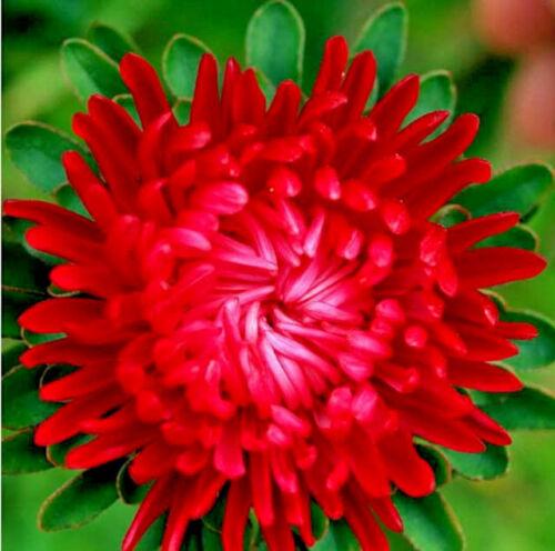 Callistephus Tall Paeony Duchess Scarlet 50 Aster seeds CombSH D66