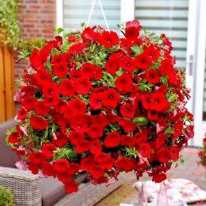 Seeds-flower-Petunia-x-hybrida-Avalanche-F1-Red-from-Ukraine