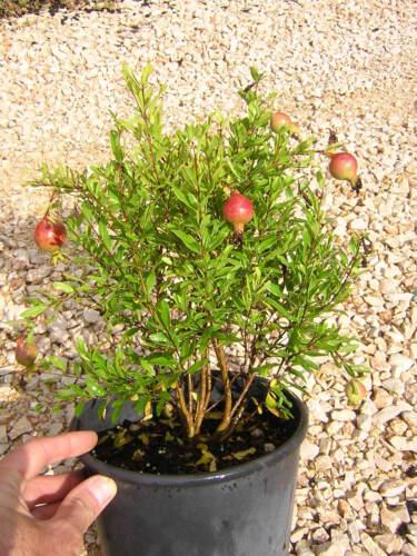 Punica Granatum V18 Pomegranate Nano Dwarf Pomegranate Plant Long Flowering