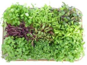 Image Is Loading Micro Greens Radish Grow Your Own Winter Windowsill