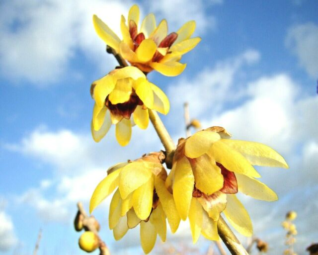 rare fragrant shrub, Chimonanthus praecox, Wintersweet, Winter flowering, hardy