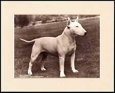 ENGLISH BULL TERRIER ABRAXUS AUSTIN DOG PHOTO PRINT MOUNTED READY TO FRAME