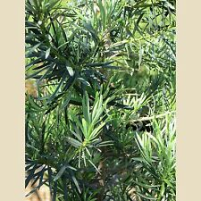 Podocarpus macrophyllus maki -- Yew Podocarpus