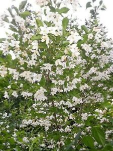 Japanese Snowbell Seeds Styrax Japonicus 5 Fresh Seeds