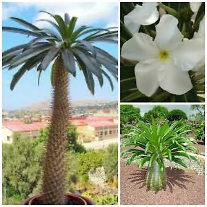 10 Seeds Of Pachypodium Lamerei Palm Of Madagascar Succulents Seed C Ebay
