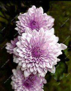 US-Seller Rare Beautiful Perennial Dahlia Flowers Seeds 20PCS C#