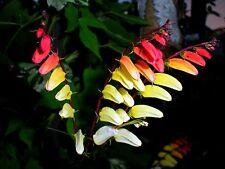 Beautiful Firecracker Vine ( MINA LOBATA) Exotic Love Vine 12 Seeds! COMB. S/H
