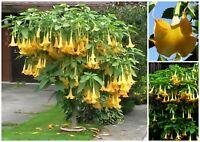 10 seeds of brugmansia suaveolens yellow, Angel trumpet, seed R