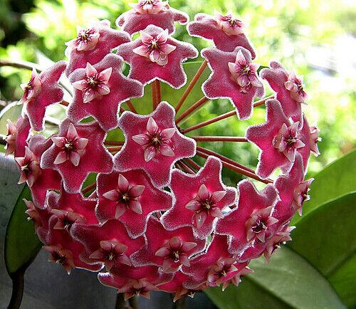 Hoya pubicalyx wax plant wax plant