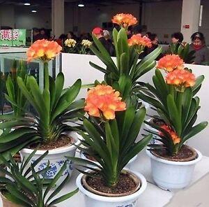 1 Seeds CLIVIA MINIATA Bonsai Flower Seeds Home Garden Ornament