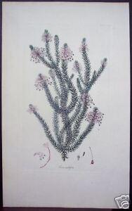 Henry-Andrews-034-Erica-Multiflora-034-1800