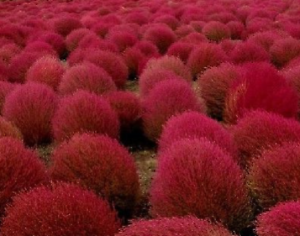 KOCHIA false cypress bassia scoparia 400 seeds