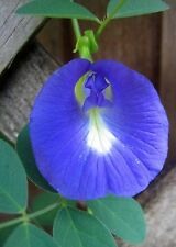 Clitoria Ternatea single blue flowering butterfly pea vine SEEDS