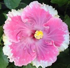 C'est Bon Tropical Exotic Hibiscus Plant Rosa Sinensis