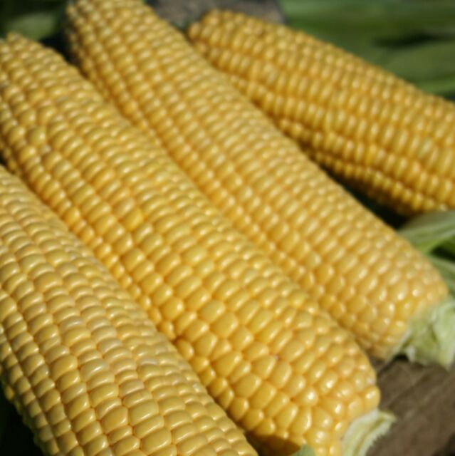 Vegetable - Sweet Corn - Swift F1 - 20 Seeds