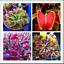 1000 pcs graines insectivore Bonsai Dionaea muscipula Giant Clip Vénus gobe-mouches B