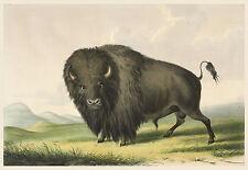 George Catlin's Indian Gallery: Buffalo - Fine Art Print
