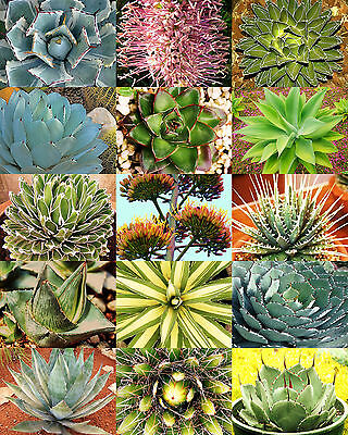 AGAVE variety MIX, rare plant exotic garden desert succulent landscape -30 seeds