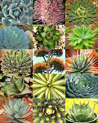 AGAVE variety MIX, rare plant exotic garden desert succulent landscape -30 seeds