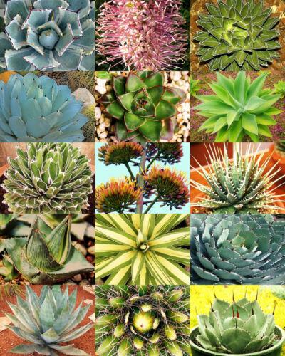 rare plant exotic garden desert succulent landscape AGAVE variety MIX 30 seeds