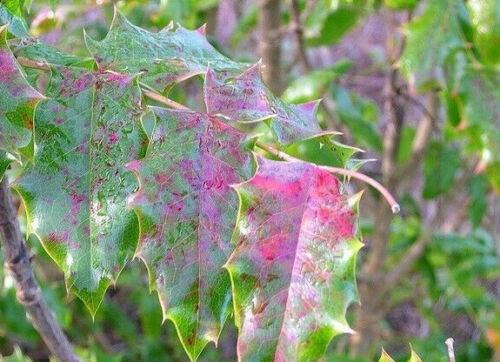 Oregon Grape Holly Seeds Mahonia Aquifolium Flower Small Shrub Pot 50 Seeds