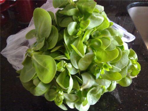 Graines antitoxine Pourpier Vert Purify corps Légumes Bio Heirloom Ukraine