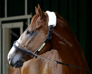 JUSTIFY-CLOSEUP-2018-KENTUCKY-DERBY-PREAKNESS-STAKES-WINNER-11X14-PHOTO