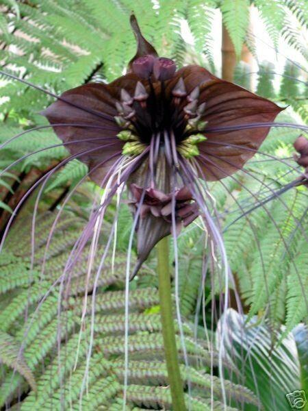 BLACK BAT PLANT (Tacca chantrieri) 10 seeds