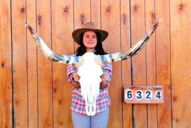 STEER SKULL LONG HORNS MOUNTED 3' 7