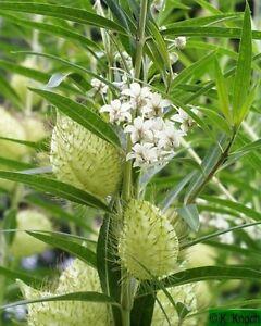 Asclepias-physocarpa-Gomphocarpus-Family-Jewels-10-seeds